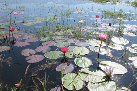 A lotus field in Myanmar 2011